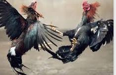 Ayam Bangkok Aduan Kategori Kelas Berat