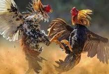 Beberapa Jenis Penyakit Ayam Petarung