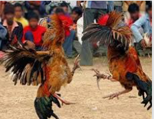 Ayam Legund Papua Merupakan Ayam Asli