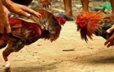 Wajib Dilakukan Ayam Bangkok