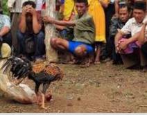 Pemberian Vaksin Ayam Bangkok