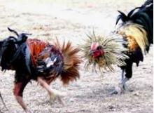 Kuda Ayam Bangkok Aduan