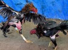 Barbel Ayam Aduan Paling Mudah