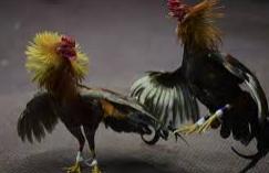 Ayam Aduan Berkualitas Tangguh